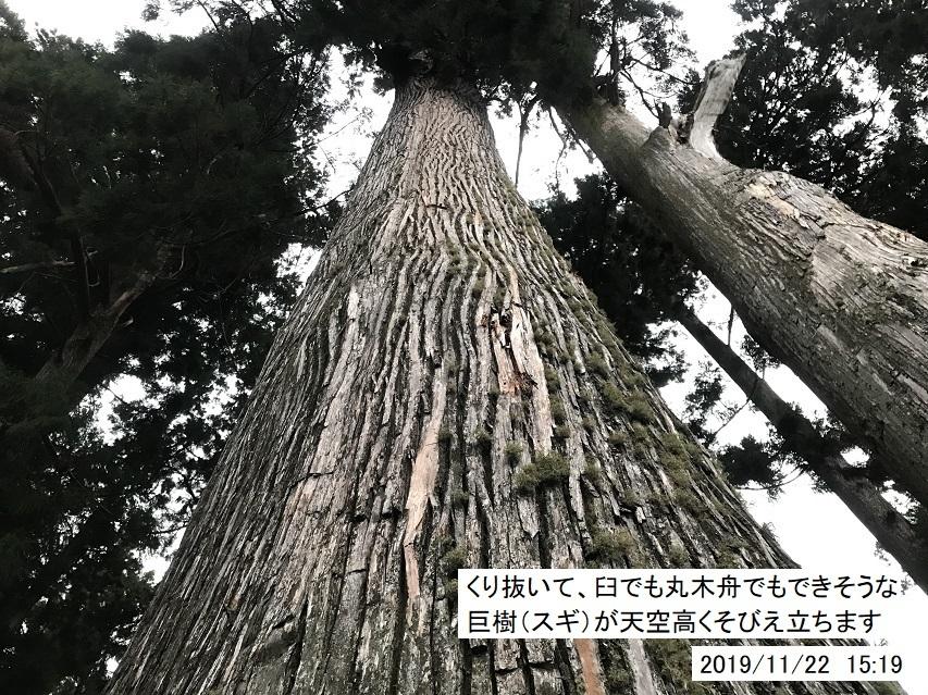 焼山寺のスギ巨樹