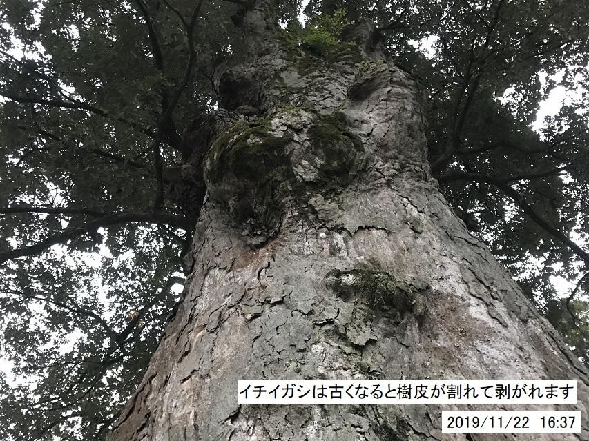 本上角八幡神社のイチイガシ