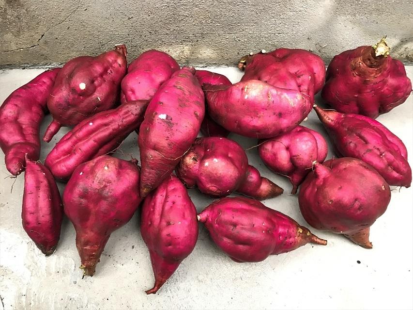 長期保存をたくらむ巨大サツマイモ