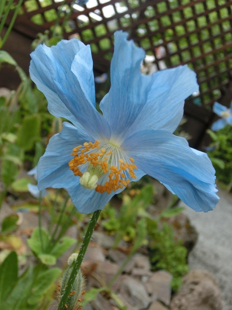 blue poppy 2-780