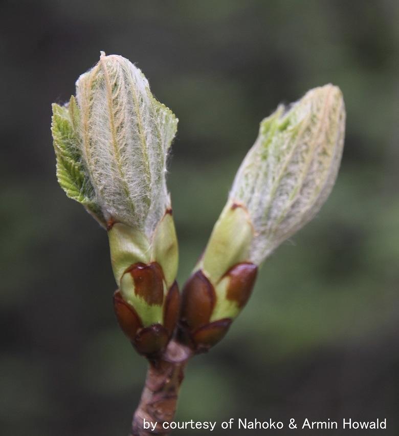 Chestnut Bud-armin-780