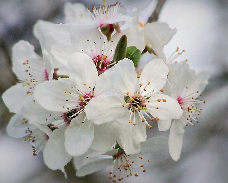 cherry-plum-780.jpg