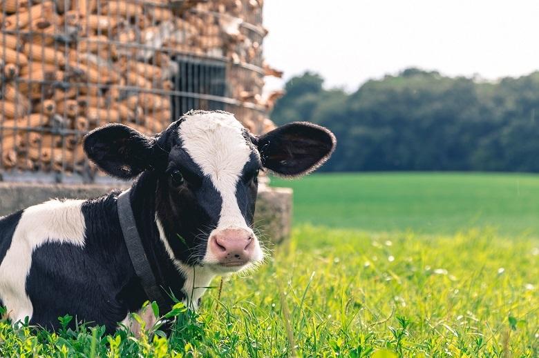cow-780.jpg