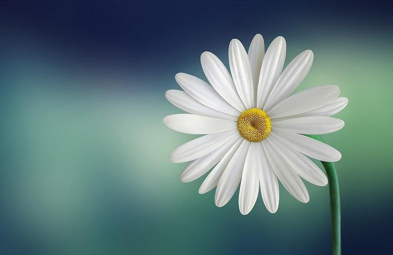 daisy01-780.jpg