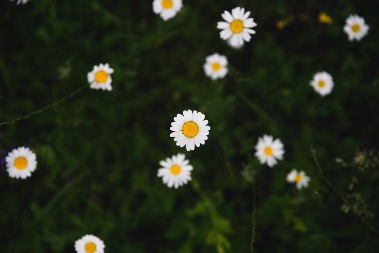 daisy1-780.jpg