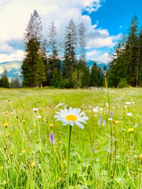 daisy2-500.jpg