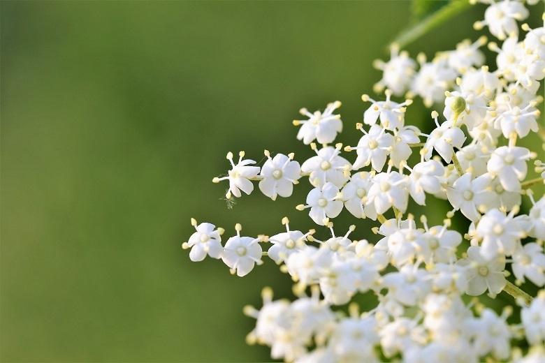 elder-flower-780.jpg