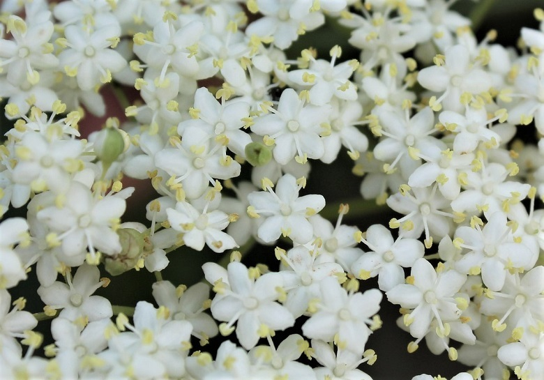 elder2-flower-780.jpg