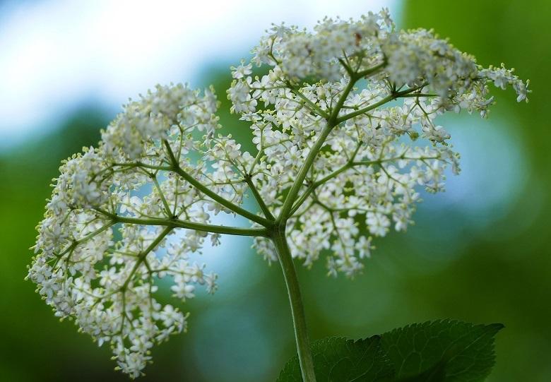 elder4-flower-780.jpg