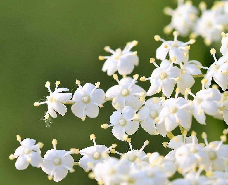 elder5-flower-780.jpg