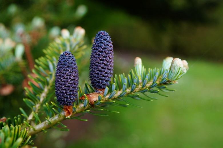 fir-tree-780.jpg