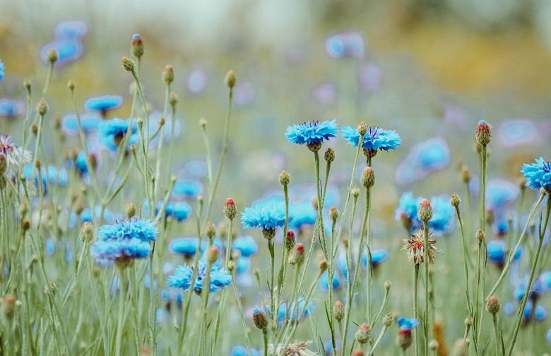 flower-blue-780.jpg