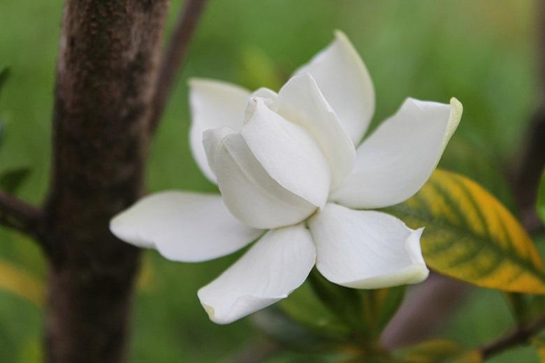 gardenia-780.jpg