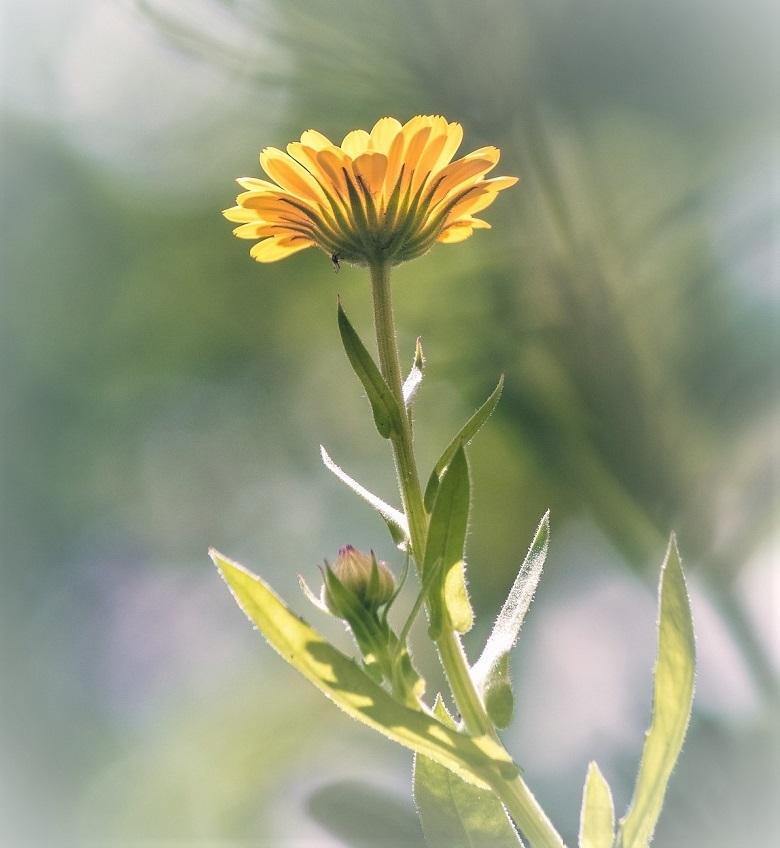 marigold1-780.jpg