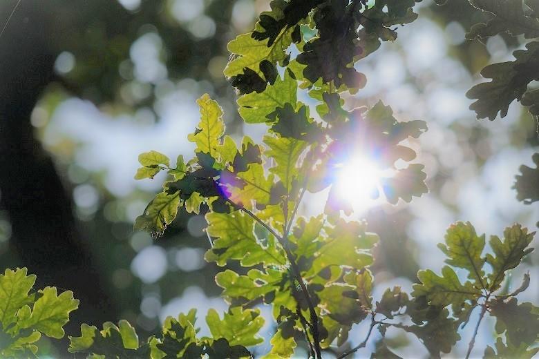 oak-leaves3-2-780.jpg