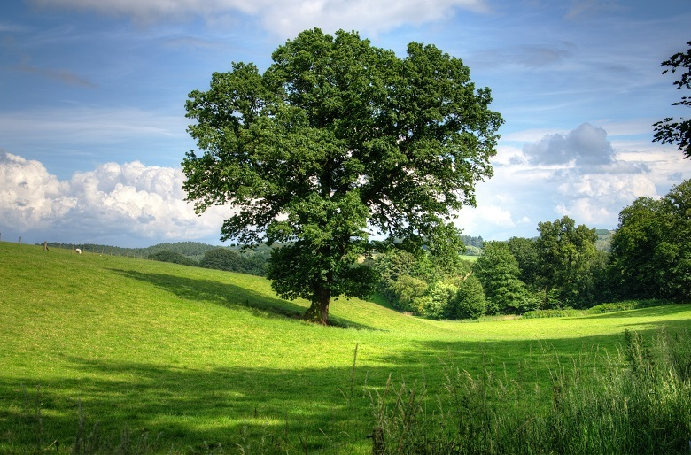 oak-tree-780.jpg