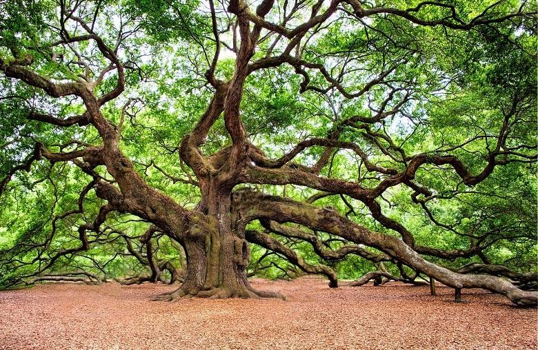 oak1-780.jpg