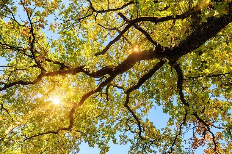 oak5-leaves-780.jpg