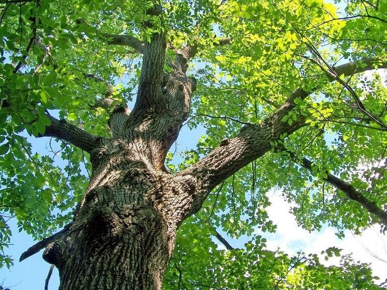 oak6-tree.jpg