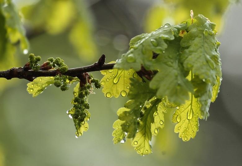 oak7-flower-780.jpg