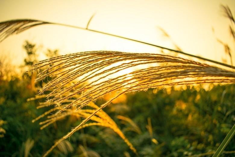 pampas-grass-780.jpg