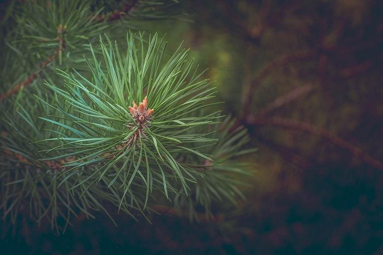 pine-leaves01-780.jpg