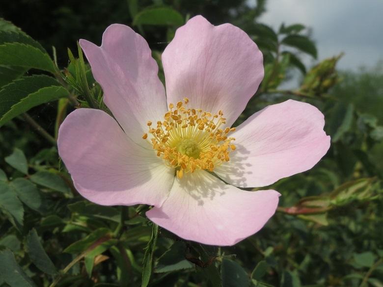 rosa-canina-780.jpg