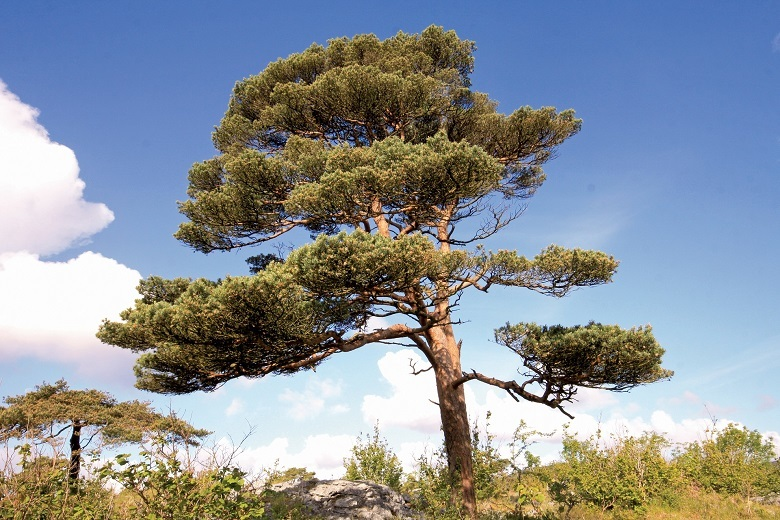 scots-pine-1-780.jpg