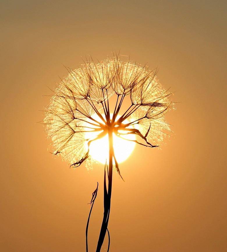 sun-dandelion-780.jpg