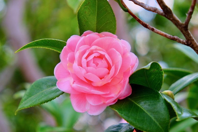 tsubaki-pink01-780.jpg