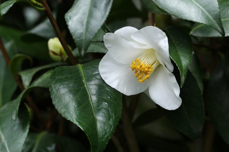 tsubaki1-white-780.jpg