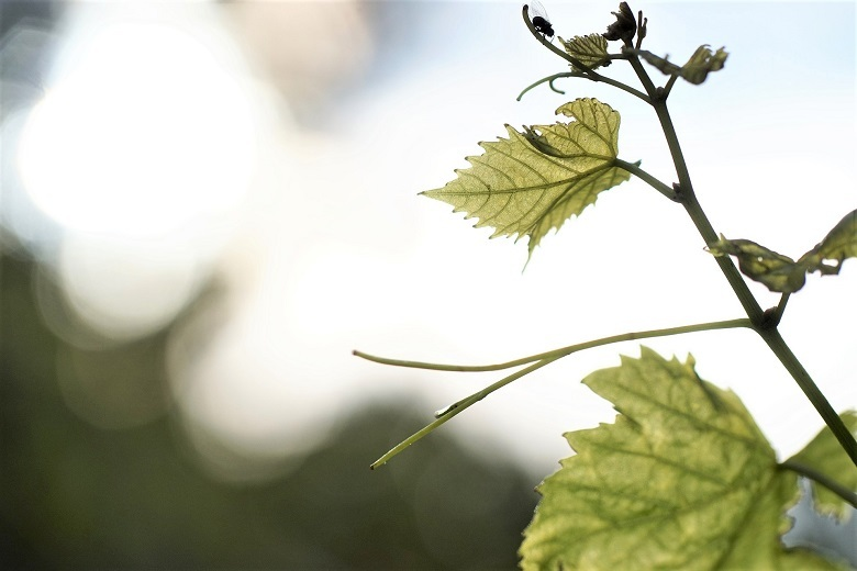 vine2-780.jpg