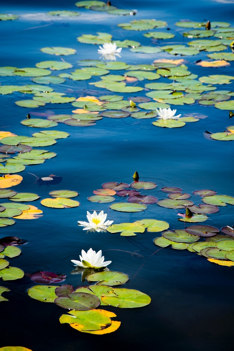 water-lily-780-2.jpg