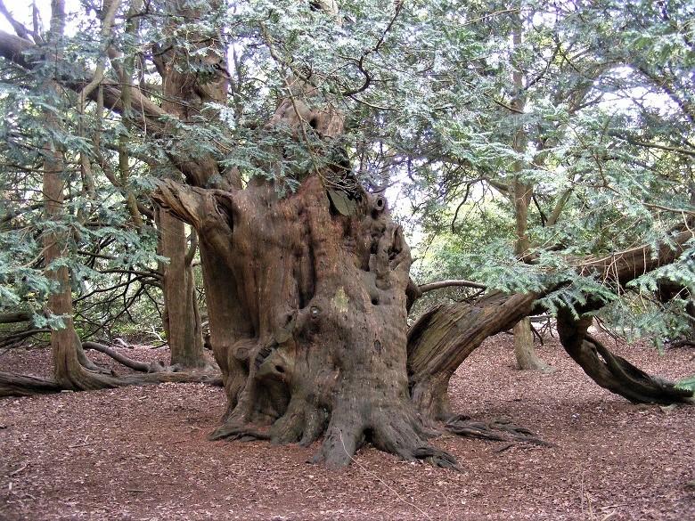 yew-tree1-780.jpg