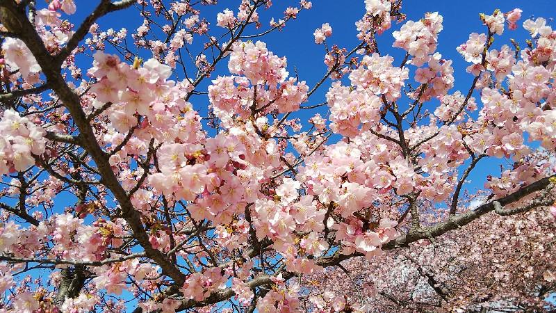 河津桜トップ20200223