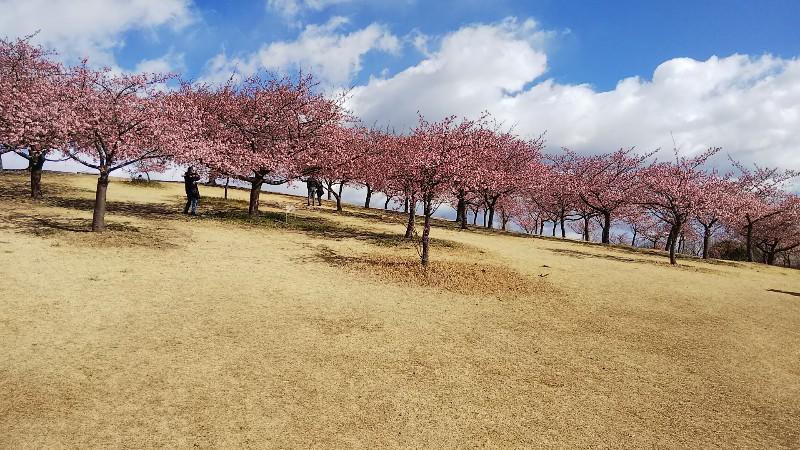 河津桜130本傾斜200223