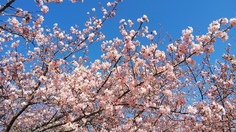 河津桜花びら200223