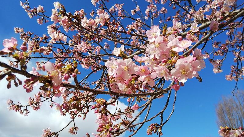 河津桜咲き始め200223