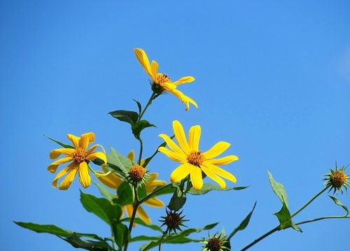 055キクイモの花