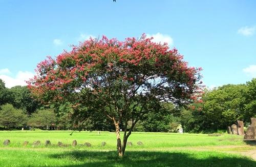085百日紅の木