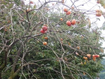 PB033538柿の木