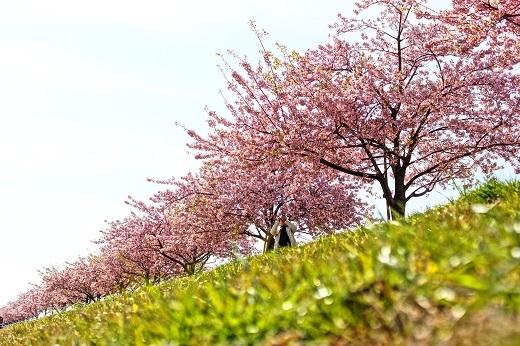 市川の河津桜