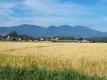 浅間山と稲