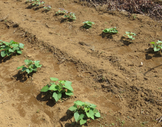 サツマイモ移植後6月下旬
