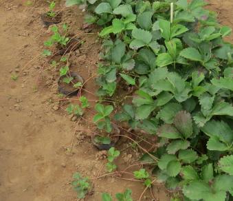 イチゴ苗取1年目5月