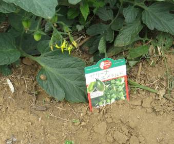 緑トマトの品種名ラベル6月菜園