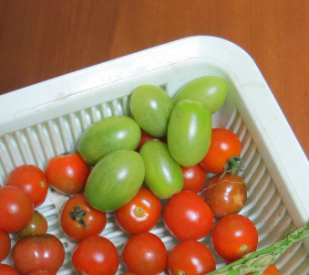 緑トマト収穫物