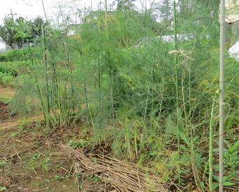 アスパラガス梅雨時の菜園