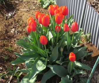 春の花(チューリップ)