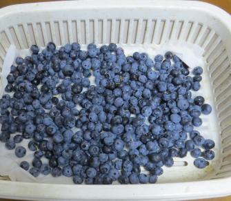 ブルーベリー収穫物8月